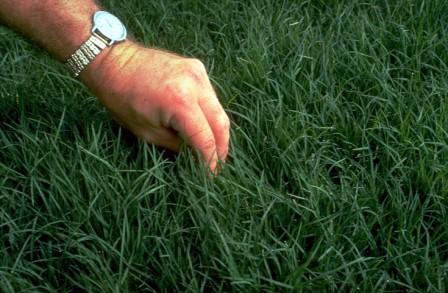 bermudagrass_lawn_seed_hancock_seed_company.jpg